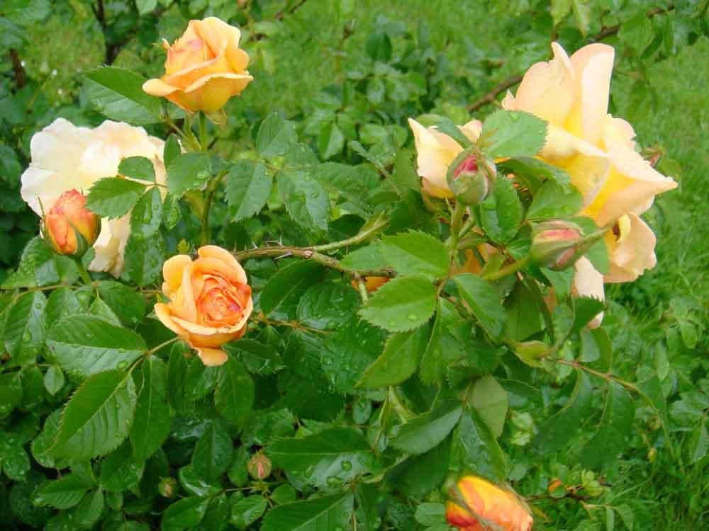 Die ersten Rosen 2010 im Brucknerpark