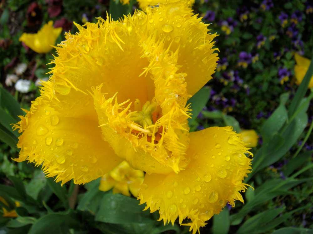 Gelbe Tulpen mit Fransen