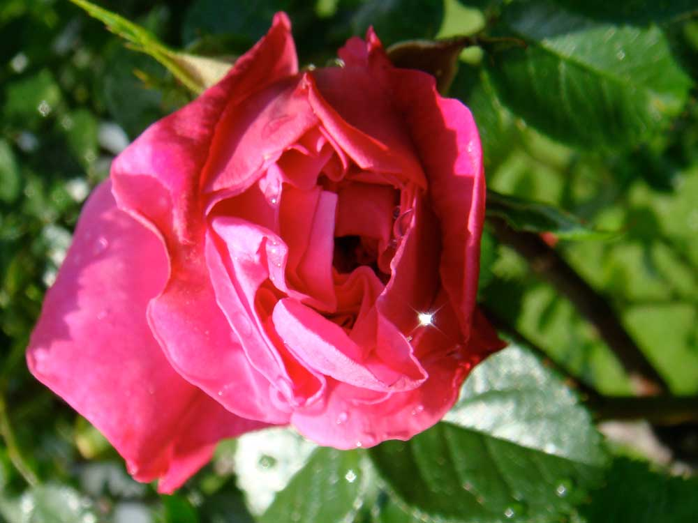 Rose with a Star