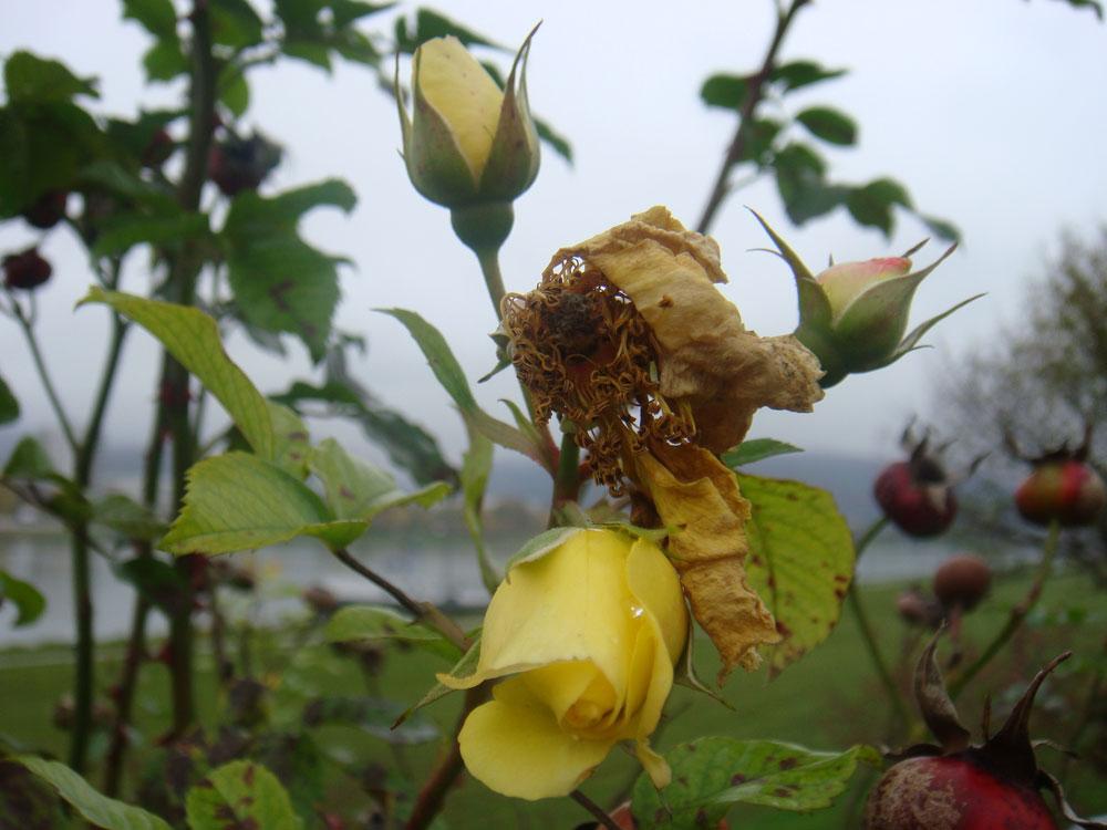 doch nicht die letzte rose