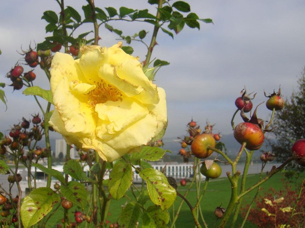 letzte rose