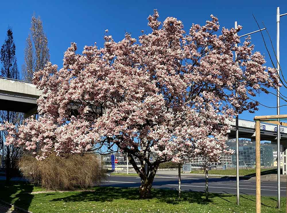 magnolie groß