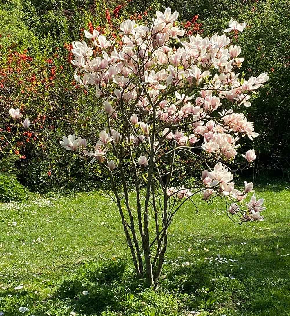 magnolie klein