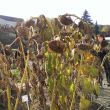 Sonnenblumen (Foto: Roswitha Panholzer)